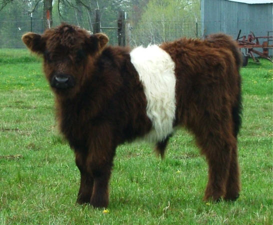 ... calves which we like to call